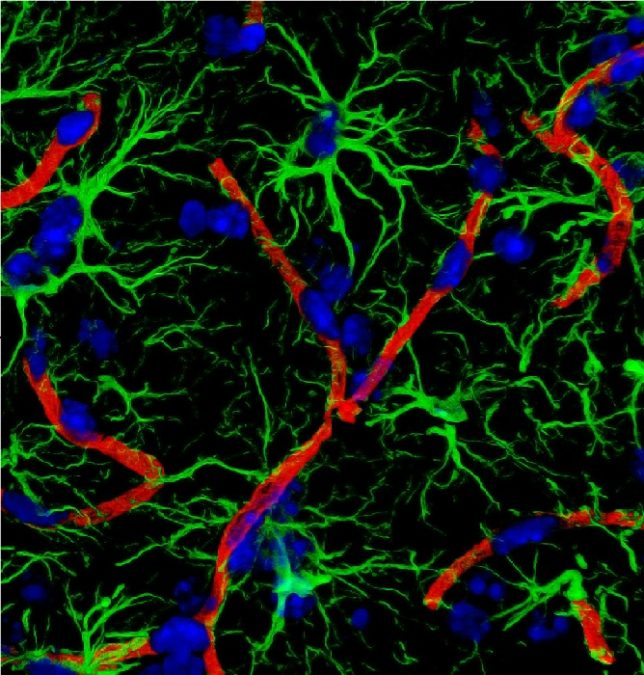Astrocytic TYMP and VEGFA drive blood–brain barrier opening in inflammatory central nervous system lesions. Reactive astrocytes promote breakdown of the blood-brain barrier in multiple sclerosis. Chapouly et al. demonstrate that astrocyte-derived VEGF-A and DDR, the enzymatic product of a newly recognised astrocyte-derived protein, endothelial cell growth factor-1/thymidine phosphorylase (ECGF1/TP), synergistically drive blood-brain barrier permeability in inflammatory brain lesions.