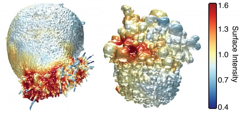 This image shows the extracted surfaces of two cancer cells. (Left) A lung cancer cell colored by actin intensity near the cell surface. Actin is a structural molecule that is integral to cell movement. (Right) A melanoma cell colored by PI3-kinase activity near the cell surface. PI3K is a signaling molecule that is key to many cell processes. Credit: Welf and Driscoll et al.