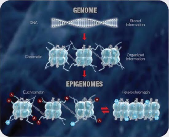 Multiple Levels of Organization Control Access to the Genetic Information Contained Within the DNA, Including Heritable Epigenetic Modifications that Regulate Gene Expression.   Copyright © 2000-2010 SABiosciences, a QIAGEN company. All rights reserved.