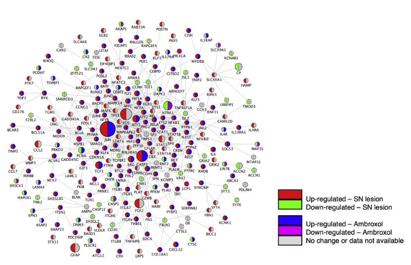 Targeting Candidate RAG Regulatory Network Using Small Molecules. Gene expression signatures after PNS injury were used to query drug-related expression profiles in the Connectivity Map. Using a pattern-matching algorithm, we selected three drugs (ambroxol, disulfiram, and lasalocid) based on enrichment and specificity scores. PPI (edges) network of co-expressed and differentially expressed genes (nodes) after PNS injury is shown. Upregulation (red) and downregulation (green) after SN lesion; upregulation (blue) and downregulation (purple) after ambroxol treatment (from Connectivity Map). A Systems-Level Analysis of the Peripheral Nerve Intrinsic Axonal Growth Program. Geschwind et al 2016.
