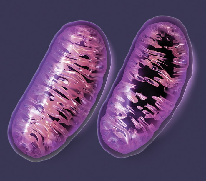 The inner membrane of each mitochondrion contains distinctive folds known as cristae. In a normal mitochondrion (left) these folds fill the interior, but these folds are lost in damaged or dysfunctional mitochondria (right). Dozens of rare diseases have been shown to result from this type of mitochondrial dysfunction. Several others -- including Alzheimer disease, autism, cancer, cardiovascular disease, Parkinson disease, and type 2 diabetes -- are suspected to involve the mitochondria. Credit: Gary Carlson