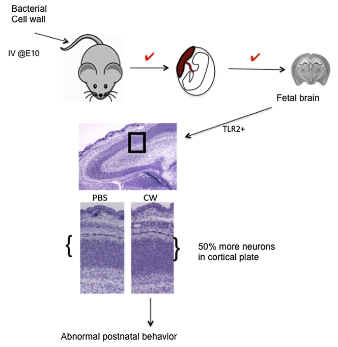 Maternal infection during pregnancy is associated with adverse outcomes for the fetus, including postnatal cognitive disorders. However, the underlying mechanisms are obscure. We find that bacterial cell wall peptidoglycan (CW), a universal PAMP for TLR2, traverses the murine placenta into the developing fetal brain. In contrast to adults, CW-exposed fetal brains did not show any signs of inflammation or neuronal death. Instead, the neuronal transcription factor FoxG1 was induced, and neuroproliferation leading to a 50% greater density of neurons in the cortical plate was observed. Bacterial infection of pregnant dams, followed by antibiotic treatment, which releases CW, yielded the same result. Neuroproliferation required TLR2 and was recapitulated in vitro with fetal neuronal precursor cells and TLR2/6, but not TLR2/1, ligands. The fetal neuroproliferative response correlated with abnormal cognitive behavior in CW-exposed pups following birth. Thus, the bacterial CW-TLR2 signaling axis affects fetal neurodevelopment and may underlie postnatal cognitive disorders. Bacterial Peptidoglycan Transverses the Placenta to Induce Fetal Neuroproliferation and Aberrant Postnatal Behavior. Tuomanen et al 2016.