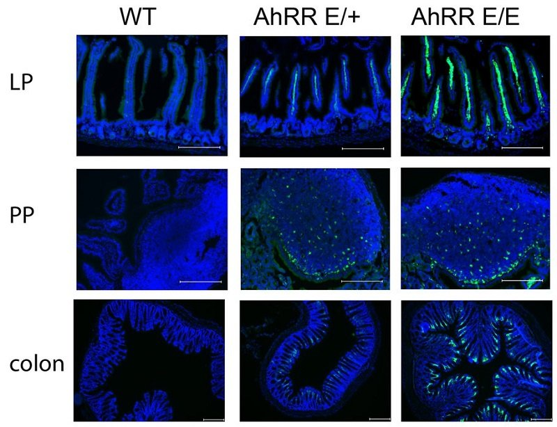 AhRR/EGFP expression in the small intestine and in lymph nodes.  Immunofluorescence analysis of frozen sections of the SI, PP and colon of WT, AhRRE/+ and AhRRE/E mice counterstained with DAPI (bars: 200 μm).  Balancing intestinal and systemic inflammation through cell type-specific expression of the aryl hydrocarbon receptor repressor.  Förster et al 2016.