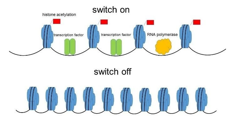"It was accepted that histone acetylation modifications are implicated only in gene activation ""switch on"".  Credit: Osaka University."
