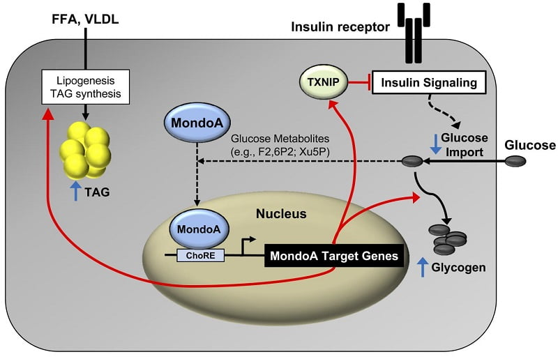 "MondoA directs myocyte fuel homeostatic checkpoint functions.  Proposed gene-regulatory (red arrows) and metabolic ""checkpoint"" responses (blue arrows) downstream of MondoA. MondoA is a glucose ""sensor"" that is directly activated by glycolytic metabolites that stimulate nuclear import of MondoA. Once activated, MondoA functions as a ""brake"" to limit carbon entry into the cell via increasing levels of TXNIP, an inhibitor of insulin signaling and glucose uptake. In addition, MondoA promotes energy storage through activation of enzymes involved in lipid and glycogen synthesis. Thus, MondoA may serve to limit carbon intake and fuel burning during conditions of ""plenty."" However, in states of chronic nutrient excess, persistent activation of MondoA may become maladaptive, contributing to a vicious cycle of cellular lipid accumulation (TAG synthesis) and insulin resistance (TXNIP-mediated suppressive effects).  MondoA coordinately regulates skeletal myocyte lipid homeostasis and insulin signaling.  Kelly et al 2016."