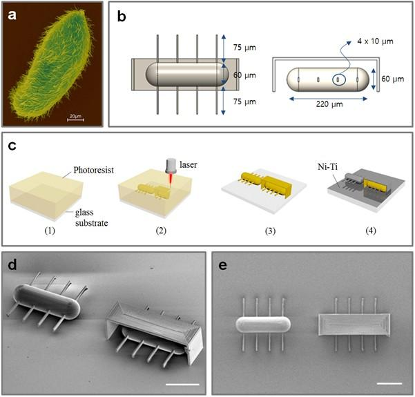 a) This is a SEM image of microorganism, Paramecium, using ciliary stroke motion.  b) Design layouts for artificial ciliary microrobots.  c) Overall fabrication process for the ciliary microrobot using 3D laser lithography and metal sputtering.  d) SEM image of ciliary stroke motion microrobots developed by Prof. Choi's research team (3D view, scale bar = 100 μm).  e) SEM image of ciliary stroke motion microrobots developed by Prof. Choi's research team (top view, scale bar = 100 μm).  Credit: DGIST.