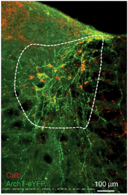 a study from researchers led by the University of Bern identifies neurons responsible for REM during sleep. The team states their discovery provides the first evidence for a brainstem premotor command, where the brain plans for voluntary movements, helping to coordinate the control of eye movements whilst deactivating muscles during REM sleep.