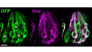 The image shows Type II taste receptor cells which were silenced to identify Type III broad range taste cells in mice.